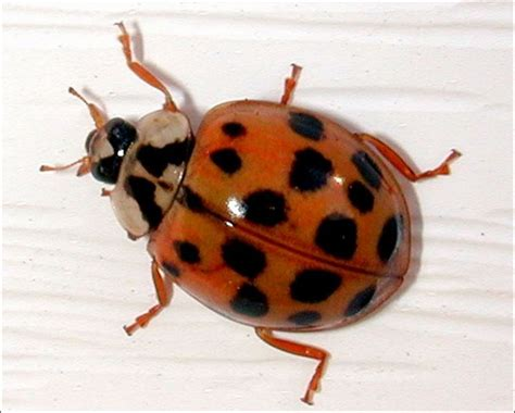 Multicolored asian lady beetles insects university of jpg 800x642